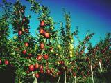 6 reguli de ingrijire a pomilor fructiferi