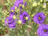 Cum plantezi si ingrijesti floarea de Lisianthus