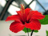10 lucruri pe care trebuie sa le stii despre trandafirul japonez