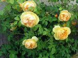Sfatul expertului: Taierea trandafirilor primavara