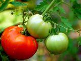 Cum sa cultivi rosii in ghiveci