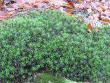Muschiul de pamant, alternativa la iarba pentru gradina ta
