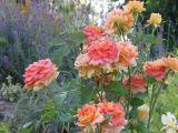 7 plante care pot fi sadite langa trandafiri