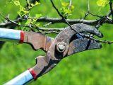 Ce trebuie sa stii despre taierea pomilor fructiferi
