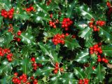 6 plante asociate cu sarbatoarea Craciunului