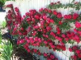 Trandafirii cataratori, decorul perfect pentru o gradina romantica