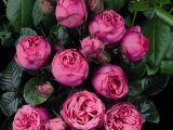 Expertul Acasa.ro, Alina Buhna: Cum pastrezi cat mai mult trandafirii din vaza proaspeti