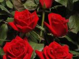 Expertul Acasa.ro, Alina Buhna: Cum se inmultesc corect trandafirii