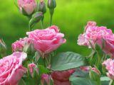 3 trandafiri pe care trebuie sa-i plantezi in aceasta primavara