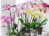3 orhidee superbe, usor de ingrijit