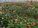 Expertul Acasa.ro, Viaceslav Buhna: Cum se planteaza corect trandafirii