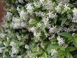 Iasomia, planta parfumata pe care o poti creste si in interior