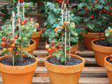 Gradina din balcon! Cum sa cresti rosii in ghivece