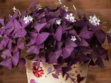 How to care for   correct Oxalis triangularis  , the plant Gali apartment
