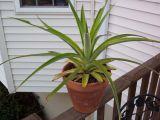 Cum sa cresti propriul ananas, in casa! Este foarte simplu!