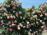 Expertul Acasa.ro, Viaceslav Buhna: Toamna se ingrijesc trandafiii! Cum iti pregatesti pentru iarna