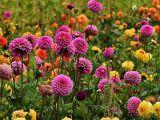 3 flori superbe pentru o gradina de toamna fermecatoare