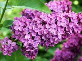 Liliacul, floarea care te scapa de virozele de sezon si iti mentine frumusetea