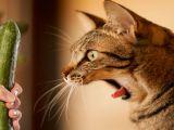 VIDEO Pisici versus castraveti! De ce se sperie felinele de aceste legume