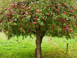 Cum sa plantezi corect pomii fructiferi! Sfaturile de care sa tii cont daca iti doresti recolte bogate