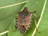 Invazie de gandaci puturosi! Cum scapam de aceste insecte care ne iau cu asalt locuintele