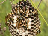 Cum sa scapi de cuiburile de viespi din gradina sau de la strasina casei