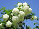 Calinul, cel mai frumos arbust de gradina! Cum sa-l ingrijesti corect