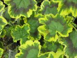 ingalbenire frunze plante