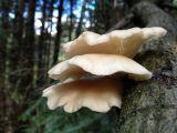 O metoda usoara de a cultiva acasa ciuperci pleurotus ostreatus