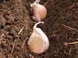 plantare usturoi