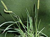 Cele mai intalnite buruieni monocotiledonate