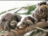 Primate prostituate