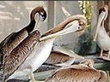 Pelicanul zbura sub influenta alcoolului