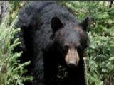 Un urs, agatat de un pod din America, a fost salvat
