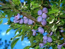 Particularitati culturii prunului