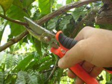 Taierea de rodire a pomilor fructiferi