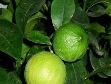 Bergamota, un fruct plin de mister