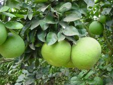 Tot ce trebuie sa stii despre pomelo