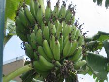 15 sfaturi pentru ingrijirea bananierului