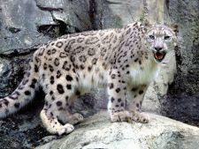S-a descoperit ce mananca leoparzii de zapada, specii pe cale de disparitie!
