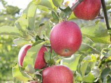 Pregateste pomii fructiferi pentru iarna