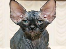 Rase de pisici potrivite pentru persoanele alergice