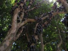Jabuticaba, copacul cu fructe pe trunchi
