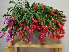 Cactusul de Craciun: este sau nu o planta otravitoare?