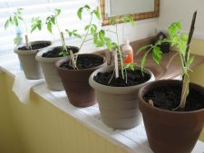 4 ponturi pentru amenajarea unei minigradini de legume in casa