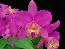 What meanings   have various flowers for orchids