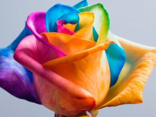 How to color a rose natural in the Rainbow colors