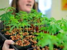 Cannabis in ghiveci: ce se intampla cand cultivi marijuana acasa