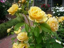 The may beautiful variety of roses yellow