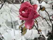 4 tricks for the protect Roses of cold